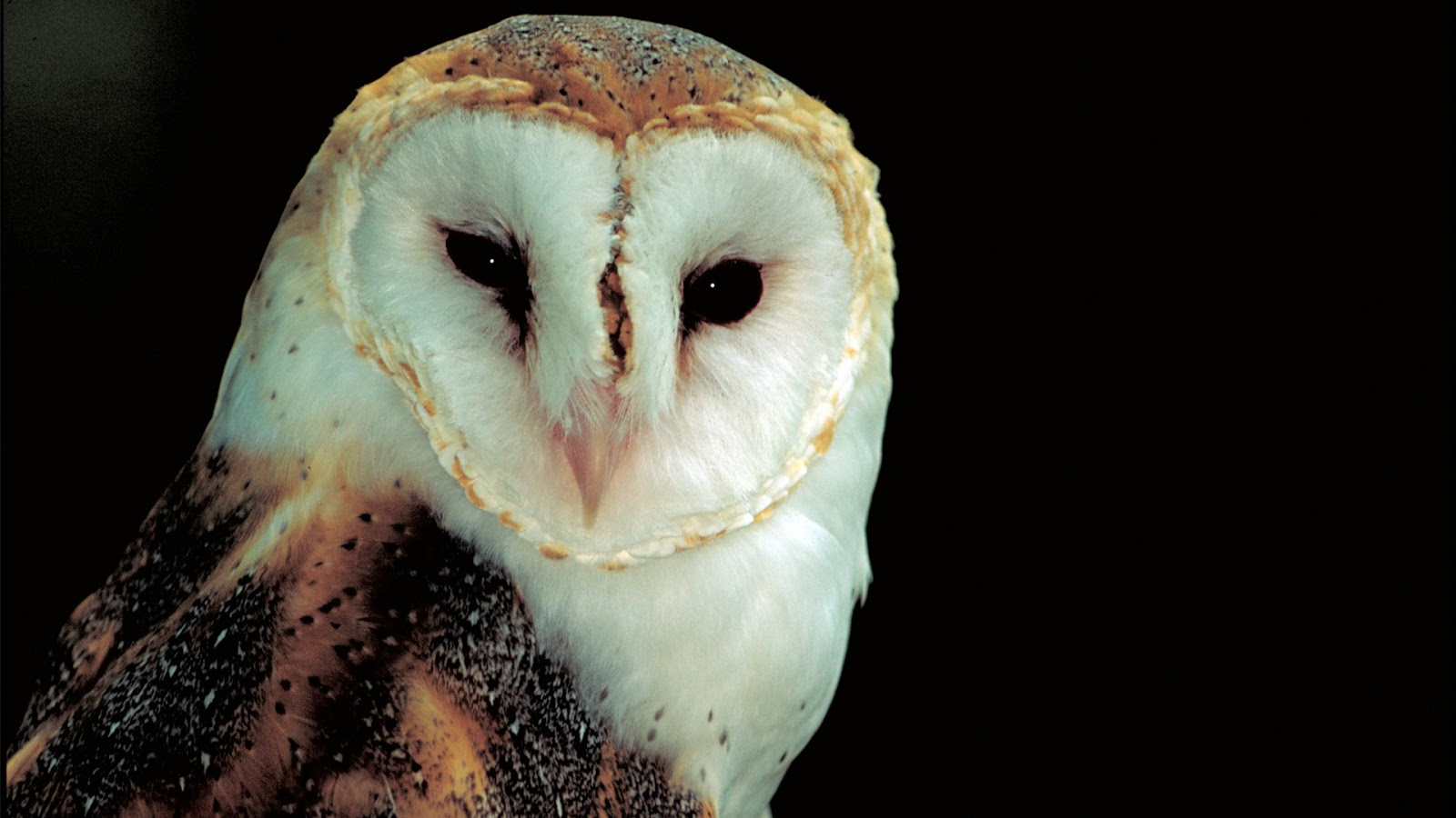 barn owl Find great deals on ebay for barn owl shop with confidence.