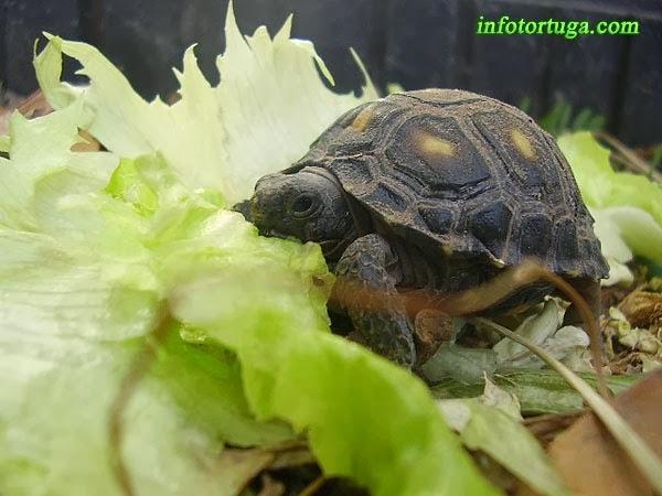 Cría de Gopherus berlandieri comiendo