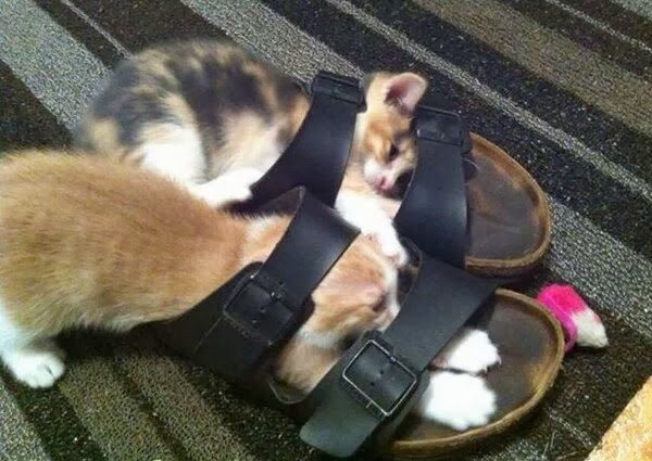 Funny cats - part 83 (40 pics + 10 gifs), cat pics, kittens play with sandal