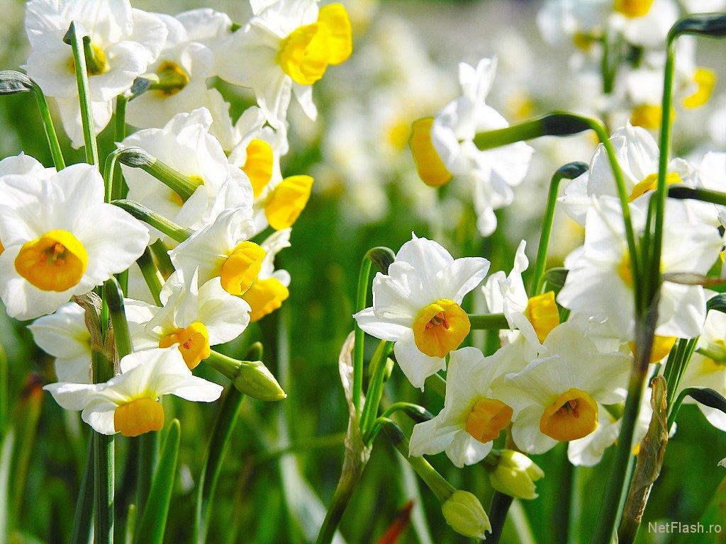 jonquil flower