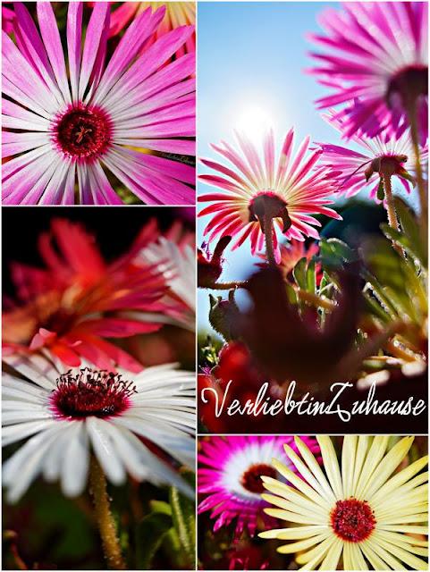 Wunderbare und hübsche Mittagsblumen
