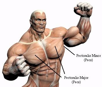 chest_muscles_4.jpg