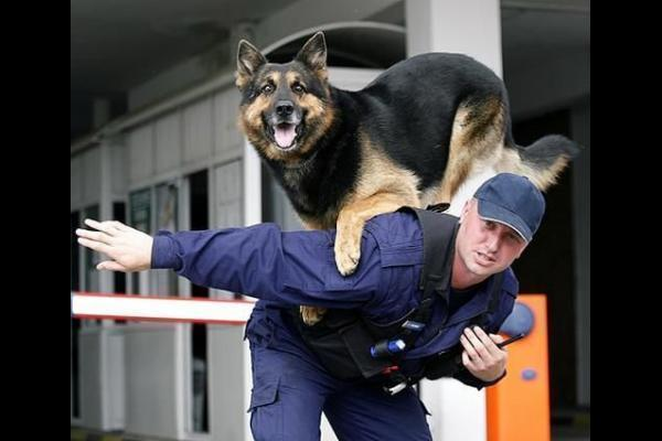 German Shepherd- Police Dog Wallpapers Free Download ...