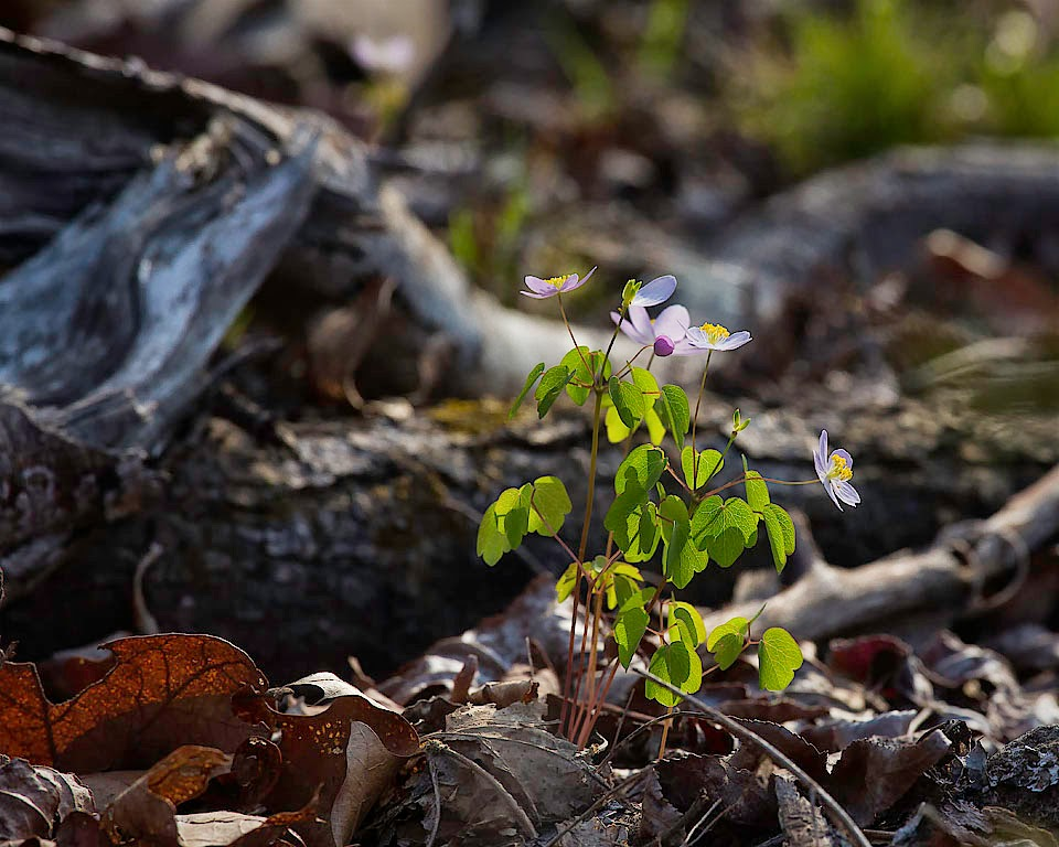 Rue Anemone at Sunrise, Ponca Wilderness, Buffalo National River