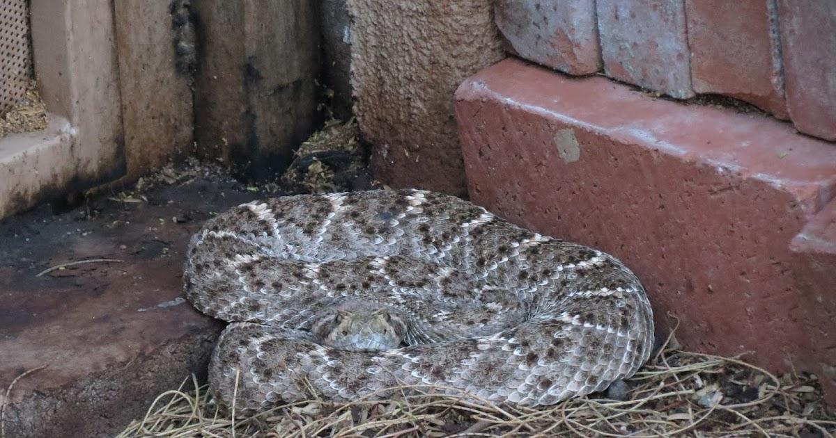 Rattlesnake Training For Dogs