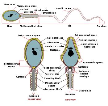 Cara Meningkatkan Kualitas Sperma Pria, sperma yang baik,kualitas sperma,buruk