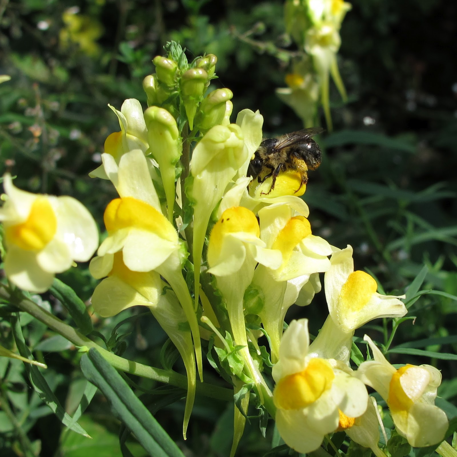 BugBlog Forked tailed flower bee on mon toadflax