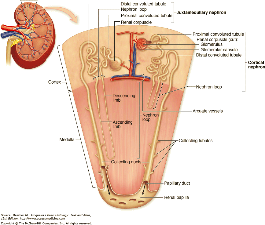 histology of the urinary system (part 3) ~ urology notes 2012, Human Body