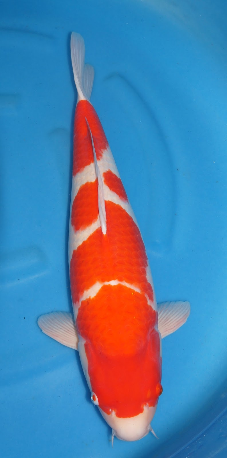 Koi for sale 9th all indonesia young koi show 2013 26 28 for Koi fish for sale california