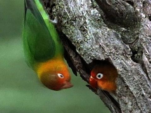 Pohon Berlubang Menjadi Incaran Lovebird