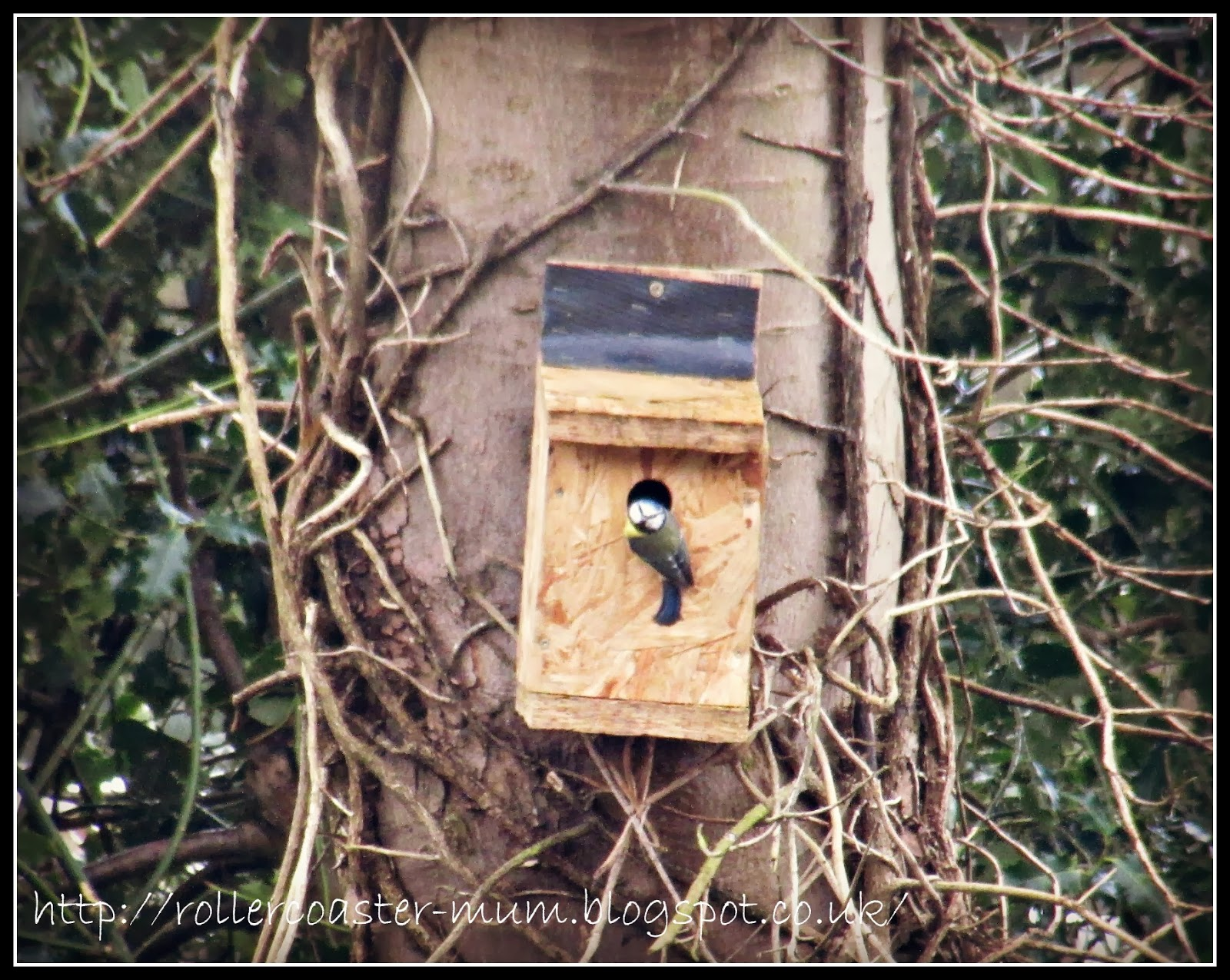 blue tit finds new home...