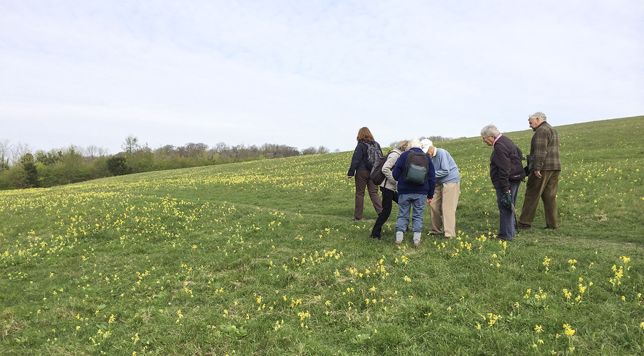 Kemsing Down's cowslips with some of the Orpington Field Club on 12 April 2014.