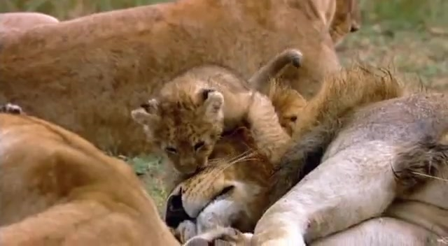 Encyclopaedia of Babies of Beautiful Wild Animals The Lion Cubs