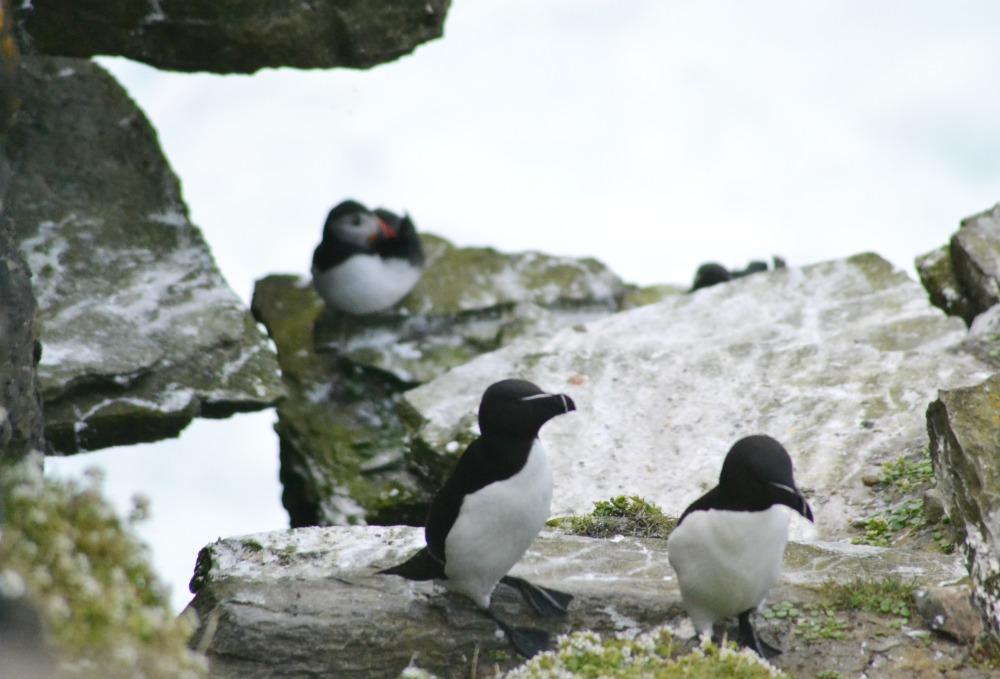 puffin razorbills orkney