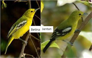 Burung Cipeuw : Cara Membedakan Dan Ciri-Ciri Burung Cipeuw Jantan Dan Burung Cipeuw Betina