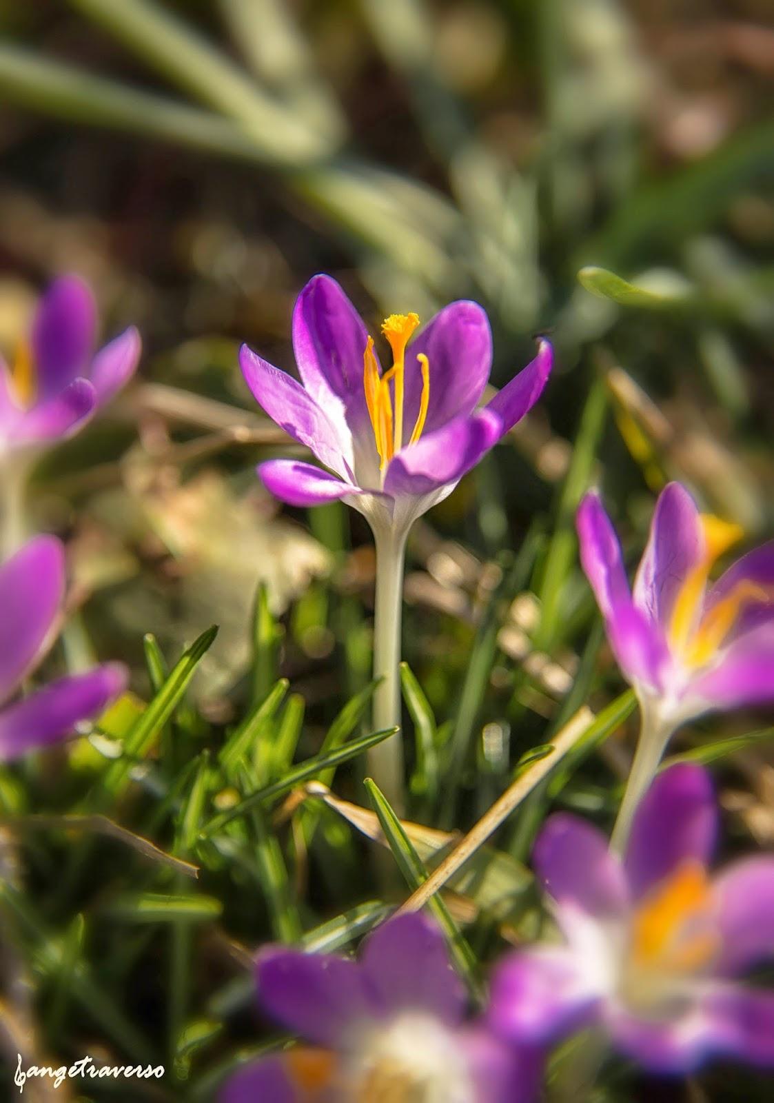 Flore des Alpes, printemps, Haute-Savoie