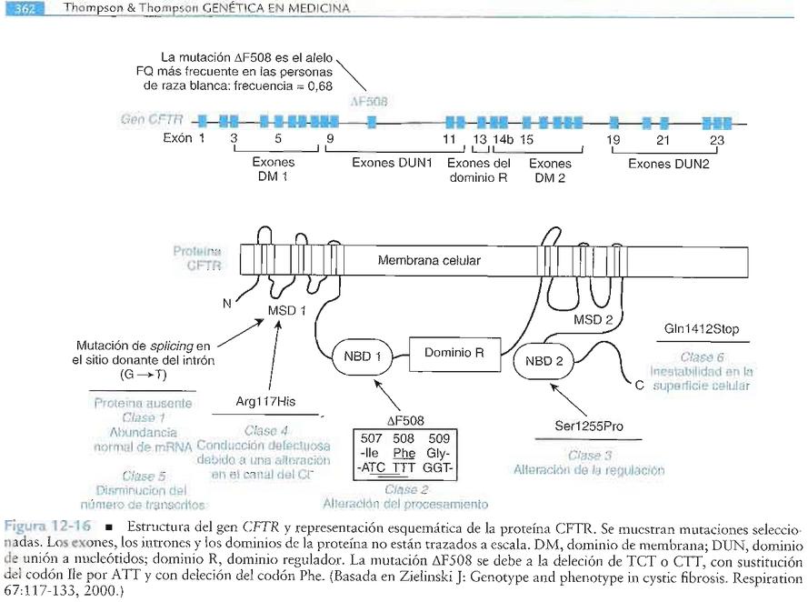 FIBROSIS QUÍSTICA: Gen CFTR y mutaciones: (por David Serantes)