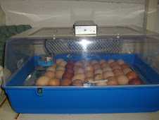 An incubator full of chicken eggs