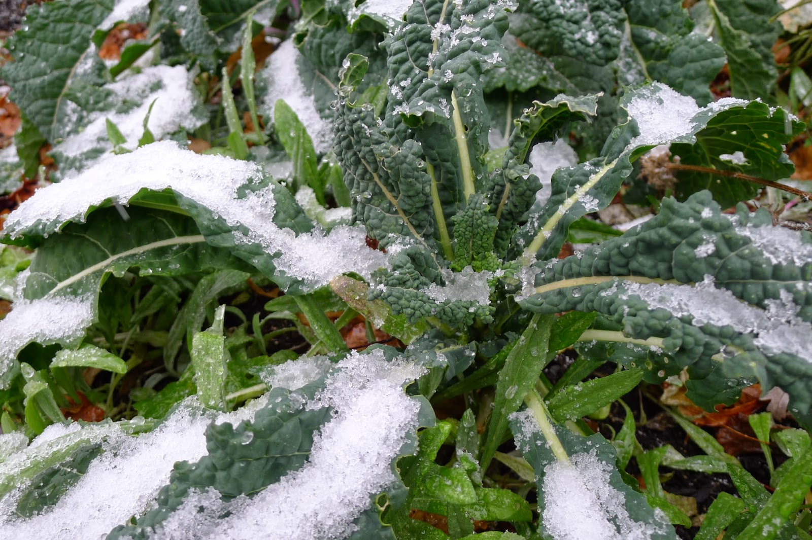 Tuscany Kale is  hardy  through the winter