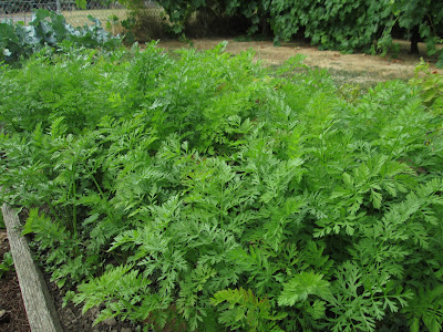 A patch of carrots in a backyard garden