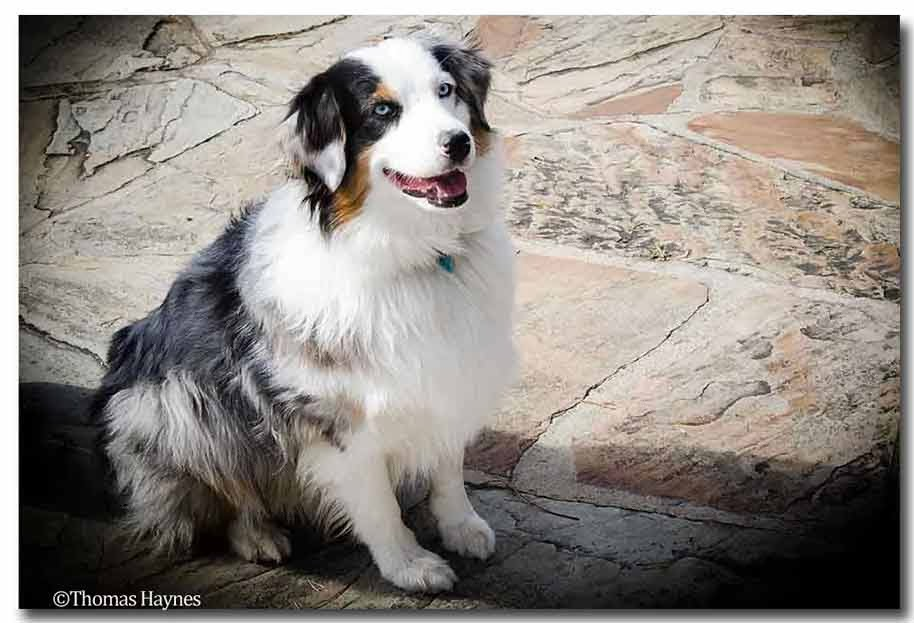 wonderful blue eyed Australian shepherd Cumberland Gap