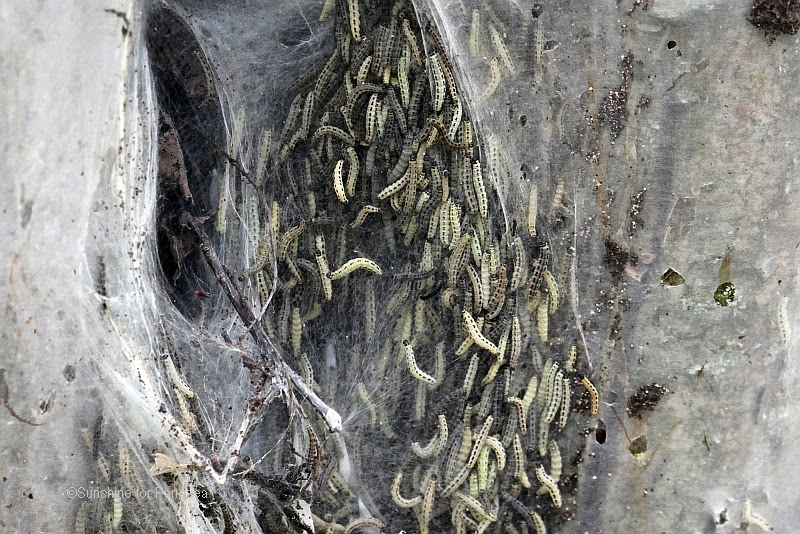 communal nest of ermine moth caterpillars