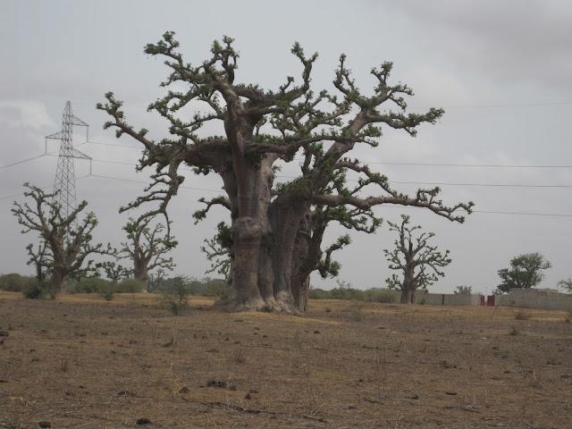 El Baobab es el símbolo nacional de Senegal