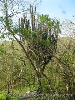 Pachycereus pecten-aboriginum in Jalisco