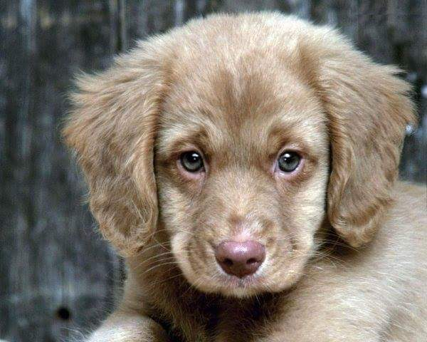 brown puppie dog wallpaper image