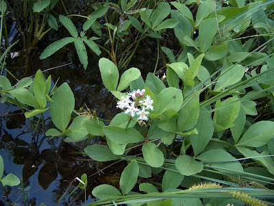 Bogbean (Menyanthes Trifoliata) Overview, Health Benefits, Side effects