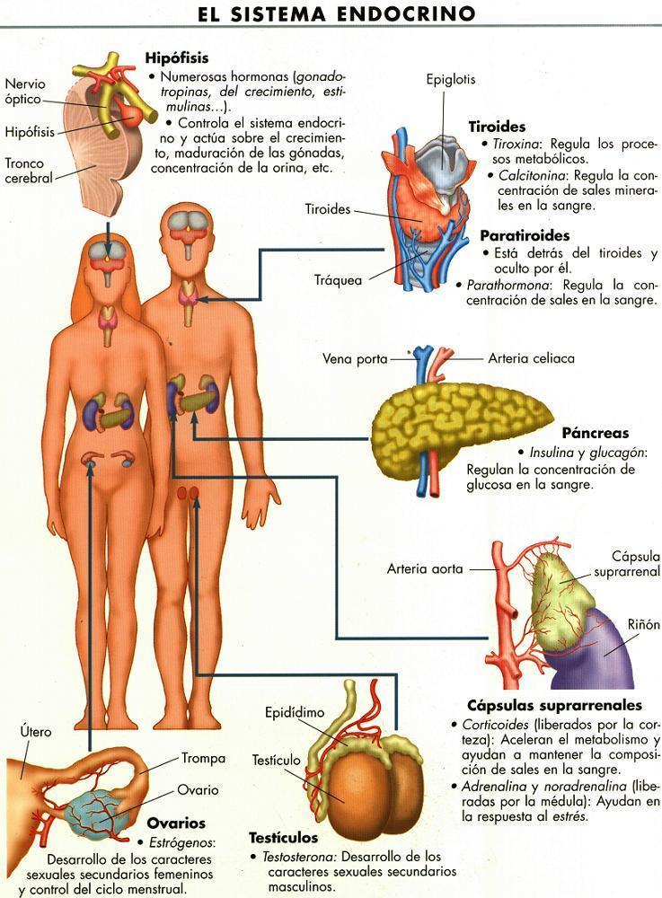 Estructuras y funciones mamarias