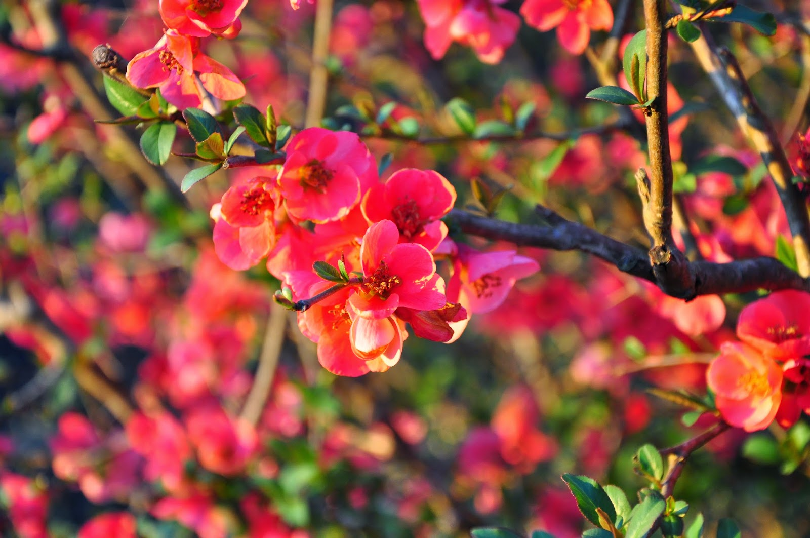 Flowering Quince Hickory Ridge Studio