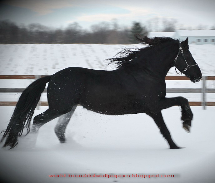 Wallpaperspiolt Friesian Horse Pictures