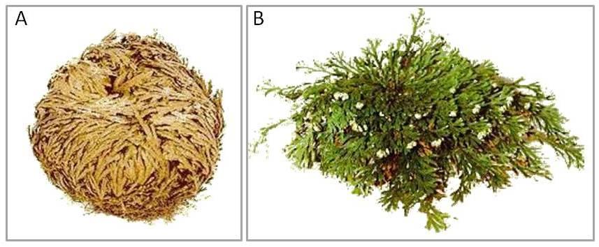 Fig.2 la planta de resurrección selaginella lepidophylla también
