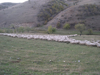 Sheep streaming across Valea Negri to reach the salt