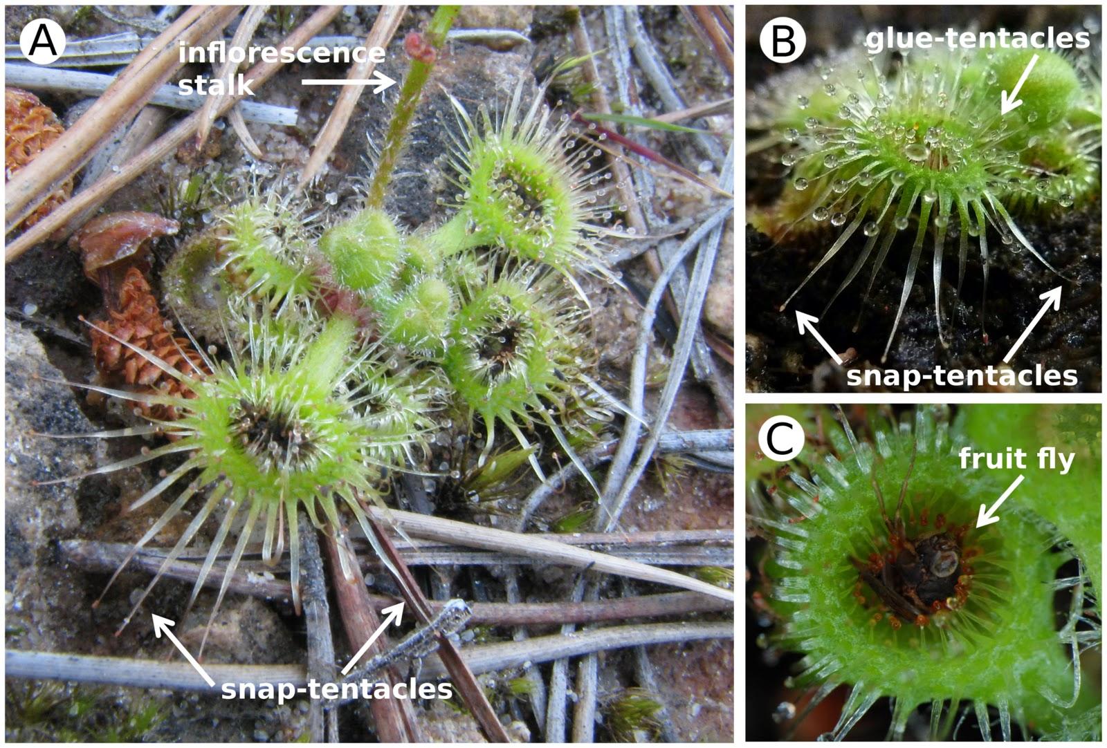 SHIELD SUNDEW Drosera Peltata Carnivorous Carnivore Insect Tuberous 6 Seeds