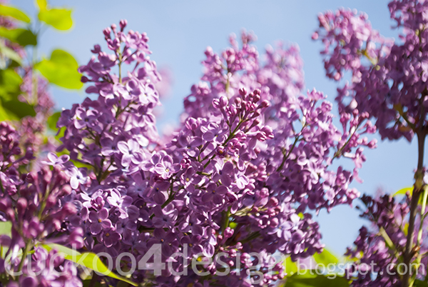 purple lilac photograph