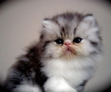 Kucing Dijual Leviana Cat