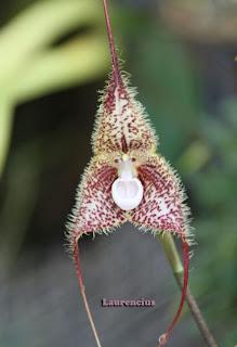 Bunga-Anggrek-Dracula-Simia_4