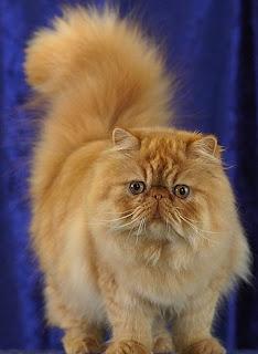 Prsian Cat Pictures
