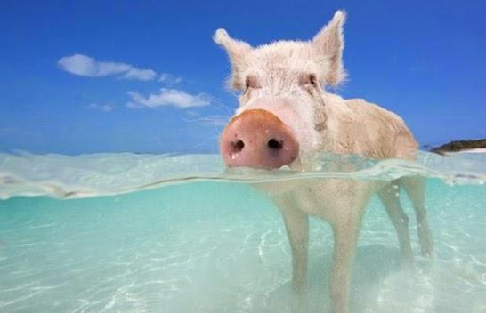 Exuma Cays isla de los cerdos nadadores