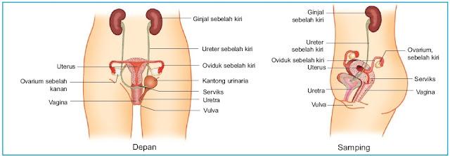 Sistem reproduksi pada wanita