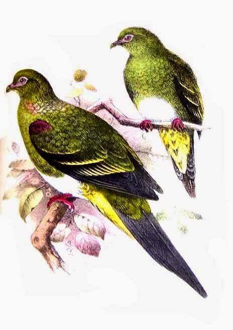 Yellow vented green pigeon