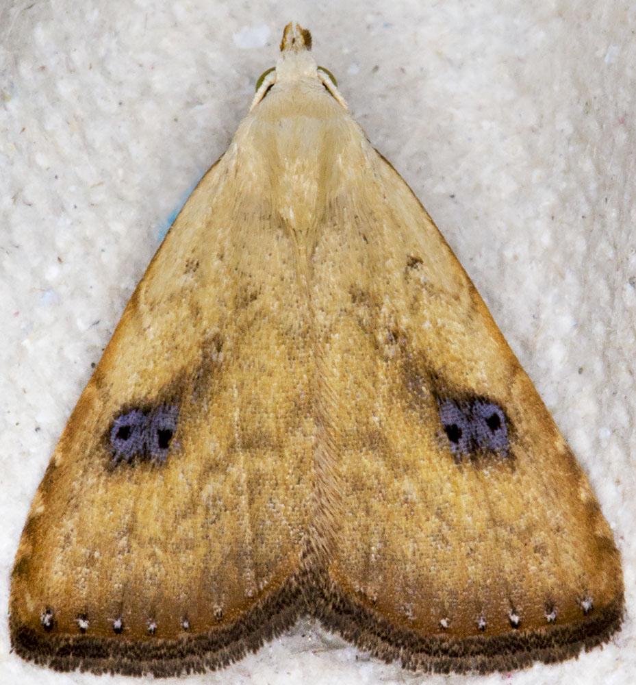 Straw Dot, Rivula sericealis.  Noctuidae.   Hayes, 7 August 2014.