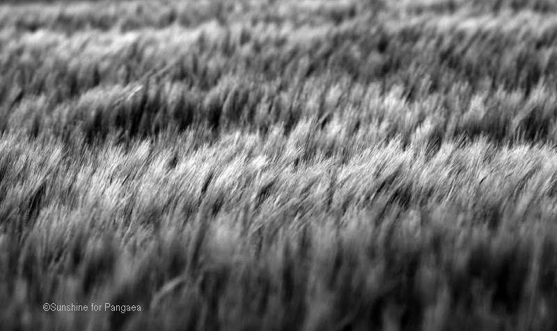 Barley field black and white photography