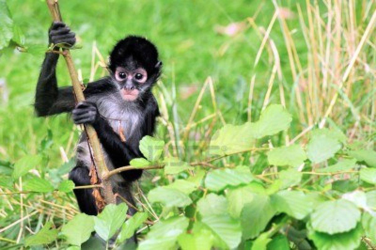 animales en peligro de extinci n el mono ara a. Black Bedroom Furniture Sets. Home Design Ideas