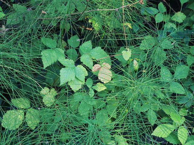 Horsetails and bramble leaves