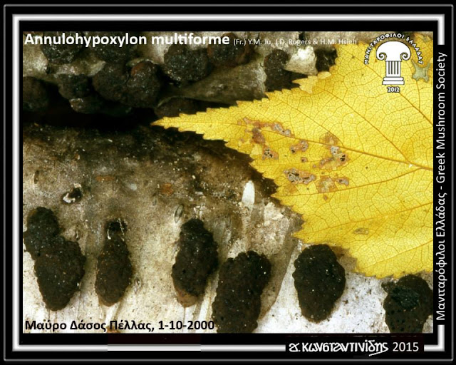 Annulohypoxylon multiforme (Fr.) Y.M. Ju, J.D. Rogers & H.M. Hsieh