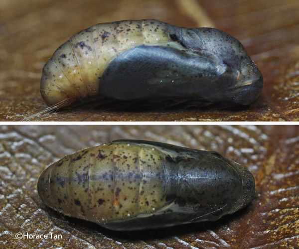 Two views of a mature male pupa showing the extensive bluish coloration in ...