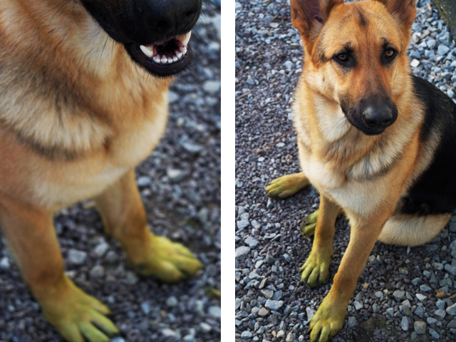 German Shepherd puppy with green paws.